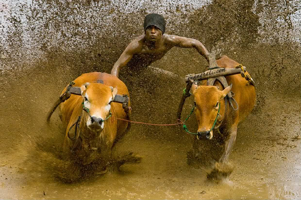 karapan sapi : jaga kelestarian budaya indonesia