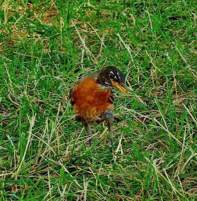 A Quizzical Robin