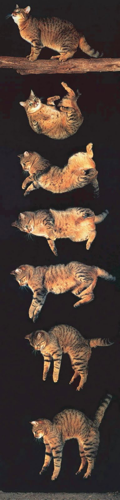 Why Cats Can Jump So High Physics