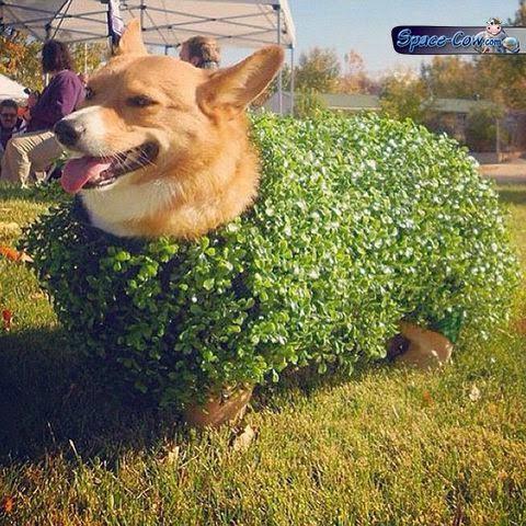 funny corgi bush picture