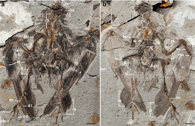 'Oldest Known Bird' Becomes a Lot Older