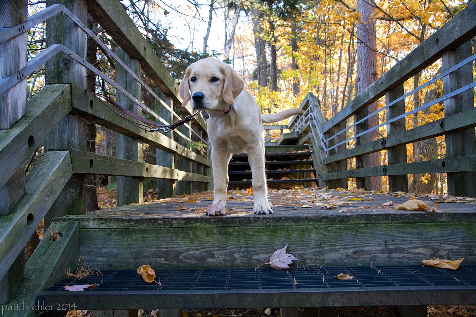 This shot is looking back up the wooden staircase. A small yellow lab/golden mix puppy is standing at the top of a flight looking at the camera. His leash is tied onto the railing.