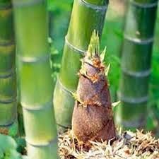 Manfaat Rebung Bambu