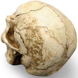 czaszka szwy