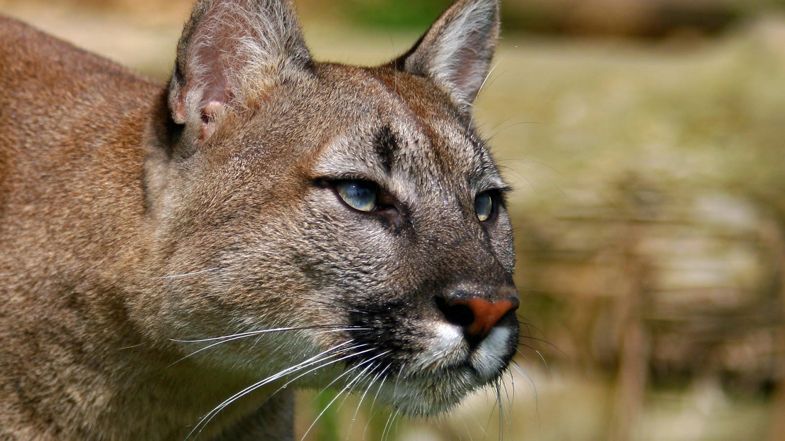 mountain lion cougar hd wallpapers hd wallpapers high definition free background. Black Bedroom Furniture Sets. Home Design Ideas