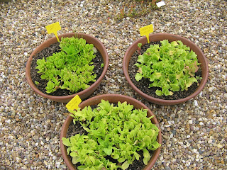 variety of lettuce seedlings
