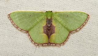 emerald moth, Geometrinae