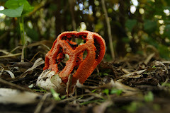 clathrus ruber