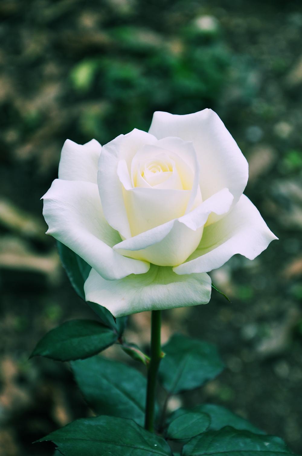 banco de im genes gratis hermosa rosa blanca   beautiful white rose