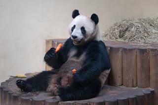 Giant panda photographs