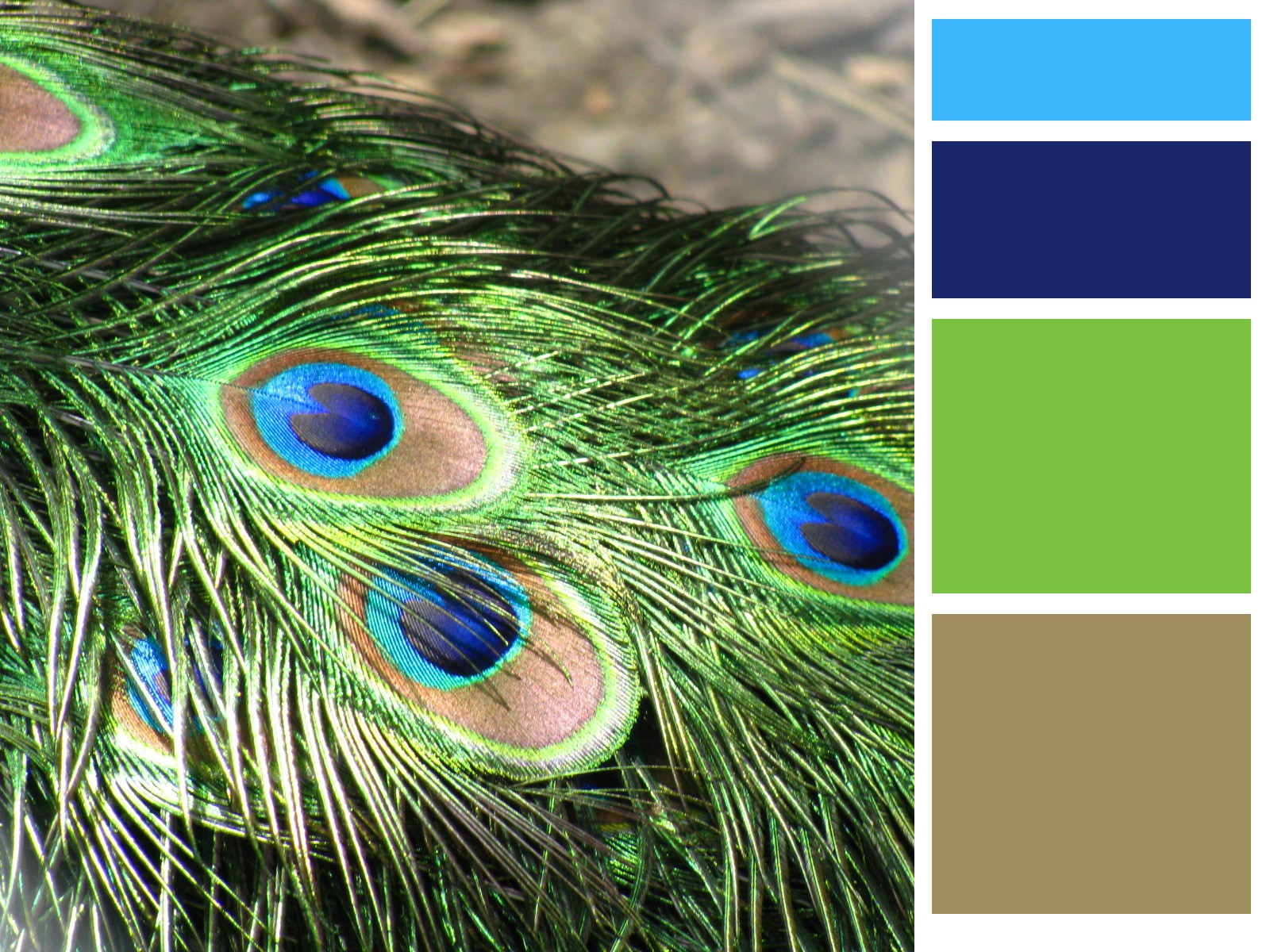 featherspeacock feathers peacock colors -#main