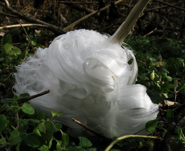 [Image: frost+flower+3.jpg]