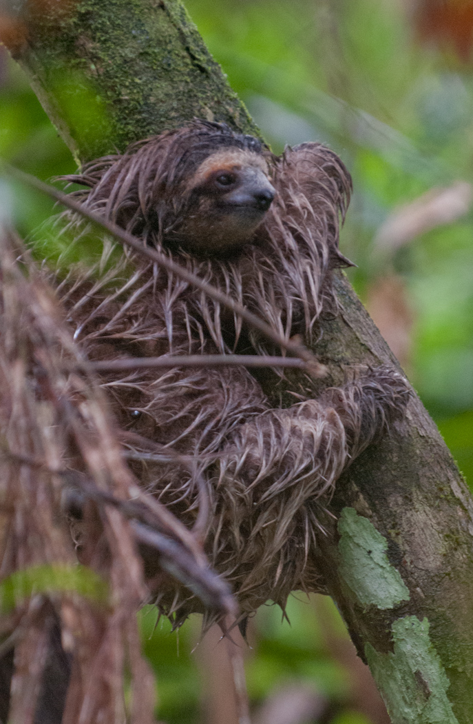 """pygmy three toed sloth analysis The pygmy three-toed-sloth, also known as bradypus pygmaeus scientifically, has been classified as critically endangered on the iucn red list """"they are restricted to one area from isla escudo de veraguas in the archipelago of bocas del toro, panama"""" (""""pygmy three-toed sloth (bradypus pygmaeus ."""