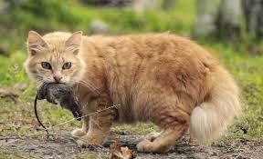 Cara Membasmi Tikus , Curut , Got  di Dapur  Rumah dan  Sawah Secara Alami