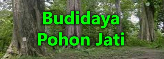 pohon jati, cara menanam jati, budidaya jati