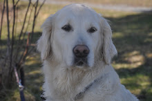 Golden Retriveren Schiba