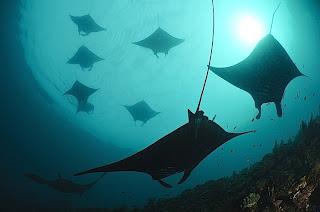 Manta Ray à Raja Ampat, diving in raja ampat, Raja Ampat en plongée