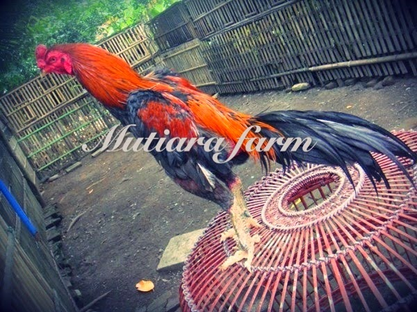 Ayam Bangkok Kandang Mutiara