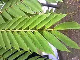 Tanaman obat untuk kencing manis sakit gula diabetes melitus daun Belimbing wuluh