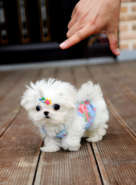Cute white Maltese puppy