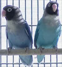 jenis lovebird kacamata pipi hitam