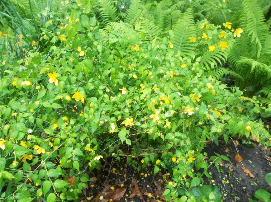 Future plants by randy stewart kerria japonica for Kerria japonica