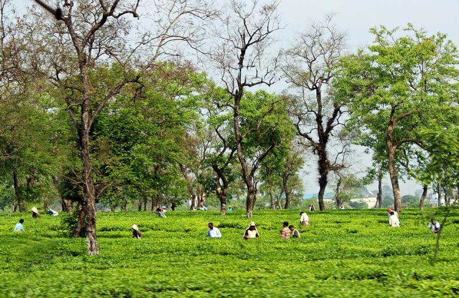 Workers plucking tea in a tea garden