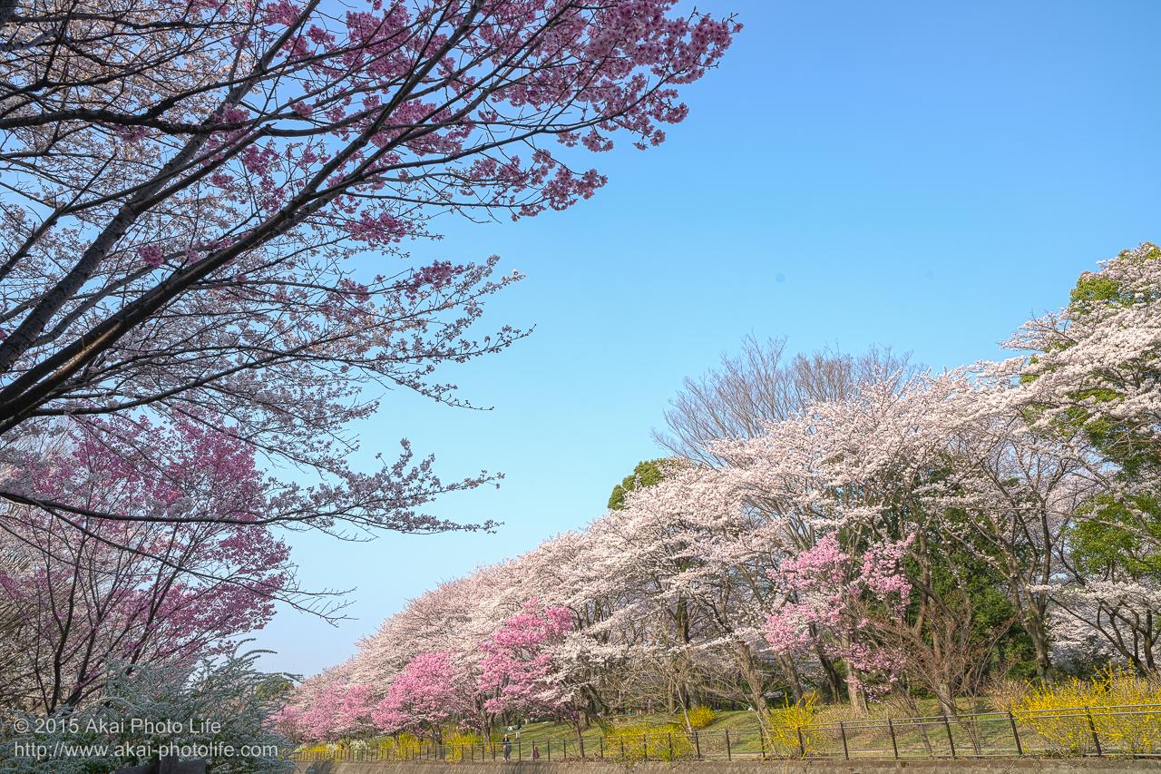 昭和記念公園の桜 その4