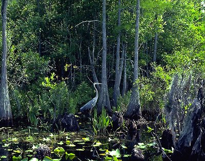 florida's okefenokee swamp Tour overview the suwannee begins as a black-water river in the okefenokee swamp, the river of musical legend emerges and flows 240 miles southwest to the gulf of mexico.