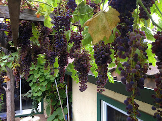 Backyard Grape Harvest at MPC