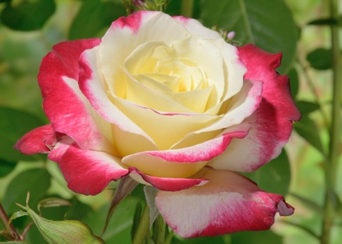 Double Delight rose сорт розы фото