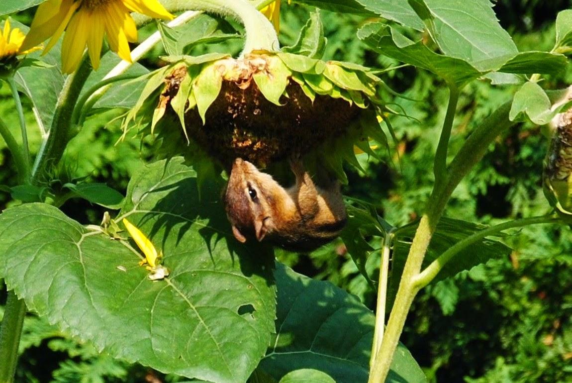 chipmunck on sunflower