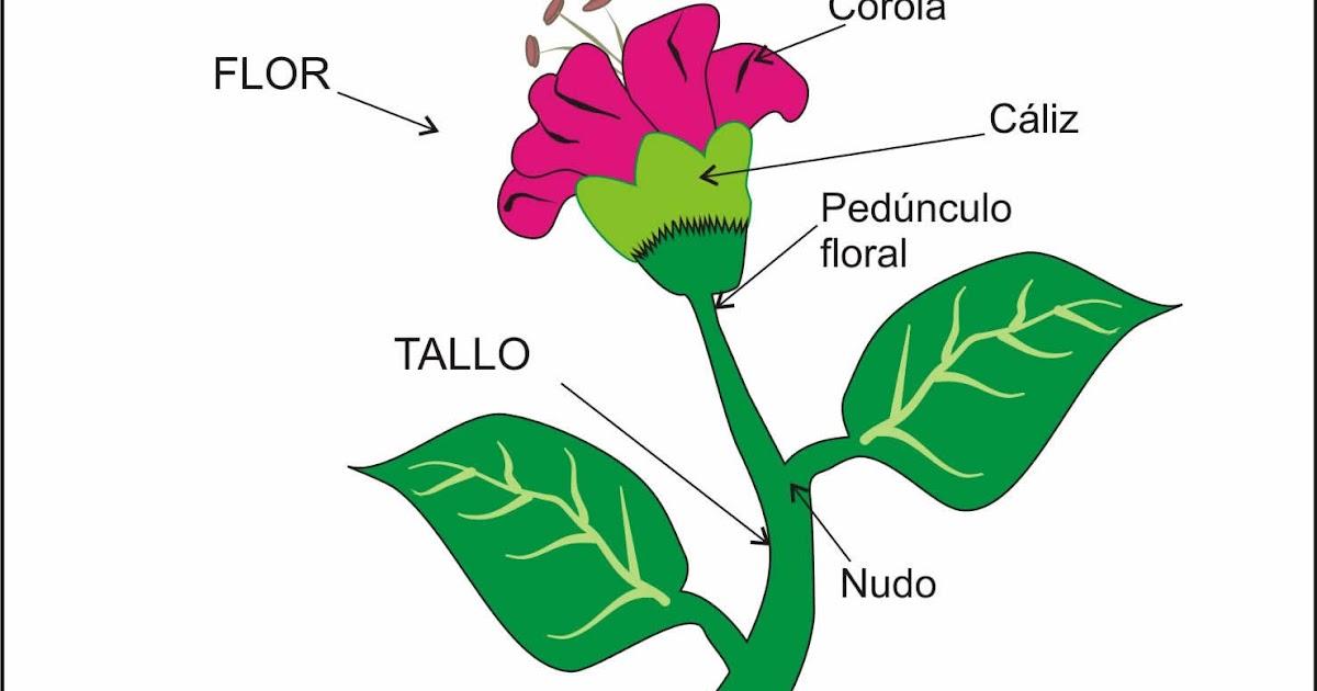 Profesora cecilia flores las plantas tercero basico for Plantas fundamentales
