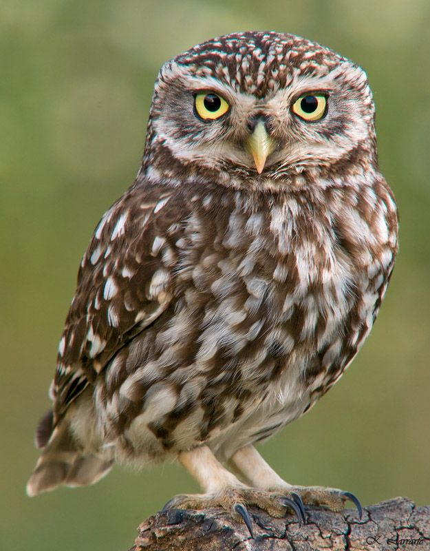Little Owl Returns to Nature  Quinta das Moitas
