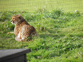 Cheetah enjoying the sun at Marwell Wildlife