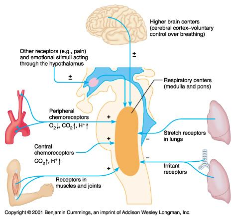 respiratory system in relation to energy The process requires energy in the form of atp which is produced during catabolism introduction the respiratory system is responsible for bringing oxygen into the body that is needed to burn nutrients for energy it is possible to burn sugar with a very small amount of energy this is called anaerobic metabolism.