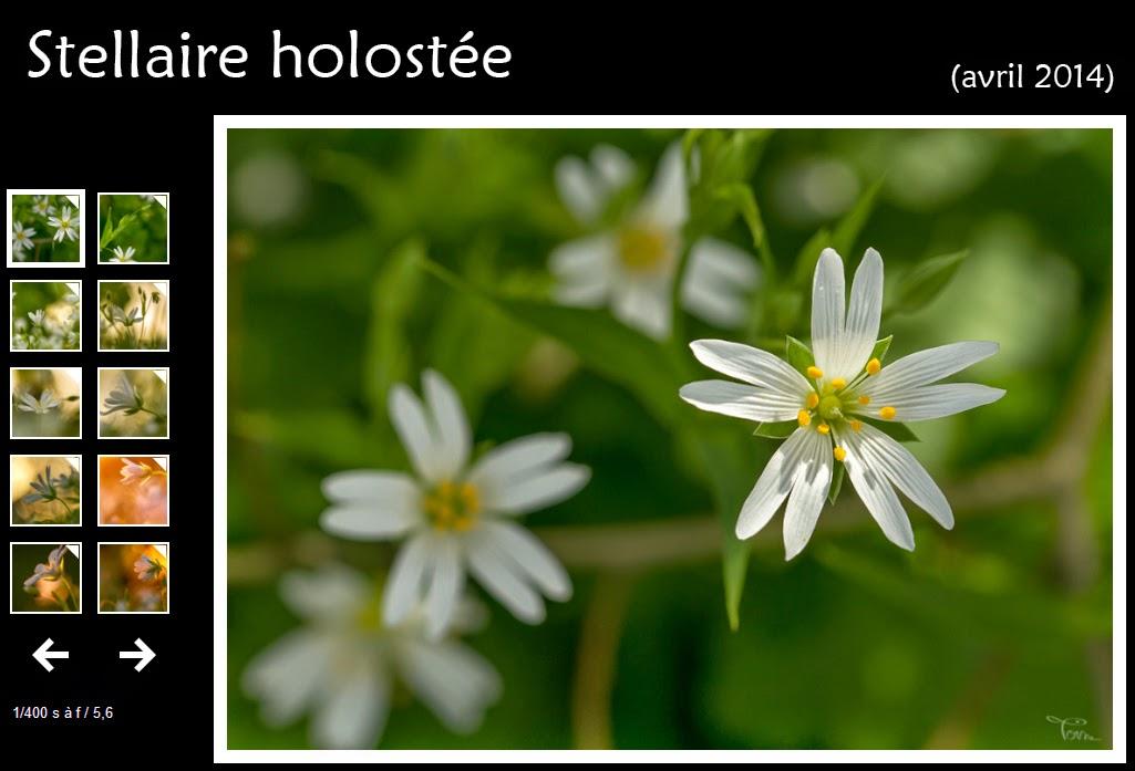 instantalautre.free.fr/galeries2014/flore/stellaire