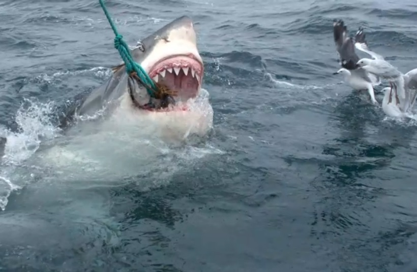 Slash The Great White From Shark Week