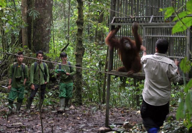 Ketika HPH Melestarikan Orangutan