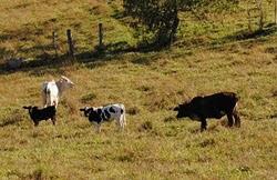 Compra e venda de gado e aluguel de pasto