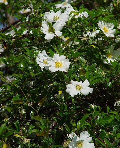 Wwe wrestlers profile american state flower cherokee rose for Cherokee rose