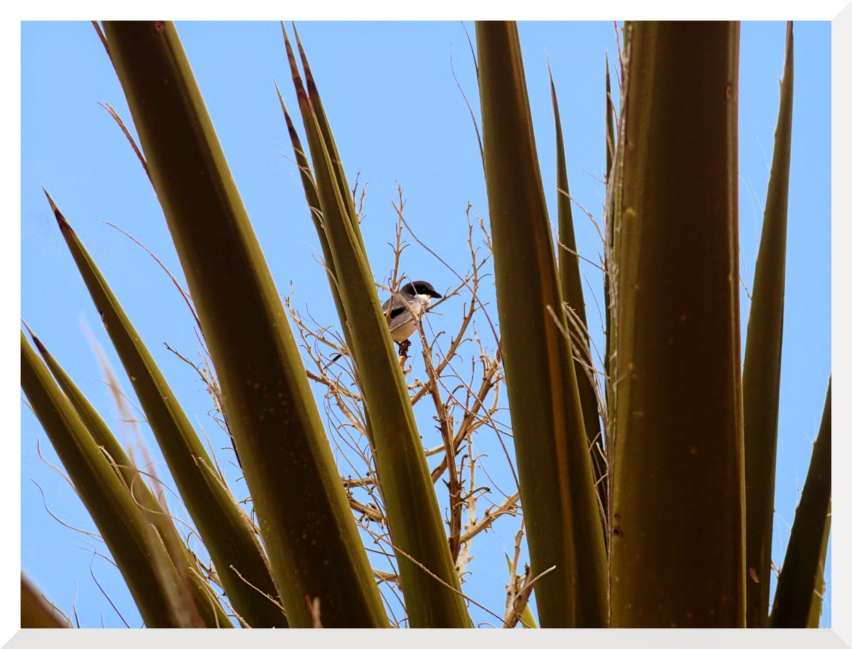 Loggerhead Shrike in a Mohave Yucca