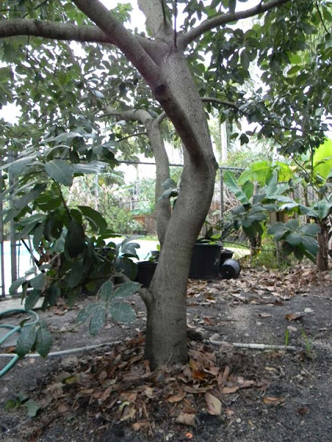 florida survival gardening eddy 39 s avocado grown from seed. Black Bedroom Furniture Sets. Home Design Ideas
