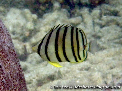 Eight-banded Butterflyfish (Chaetodon octofasciatus)