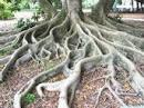 Fincando raízes...