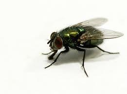 Cara Mengusir Lalat di Rumah Secara Alami