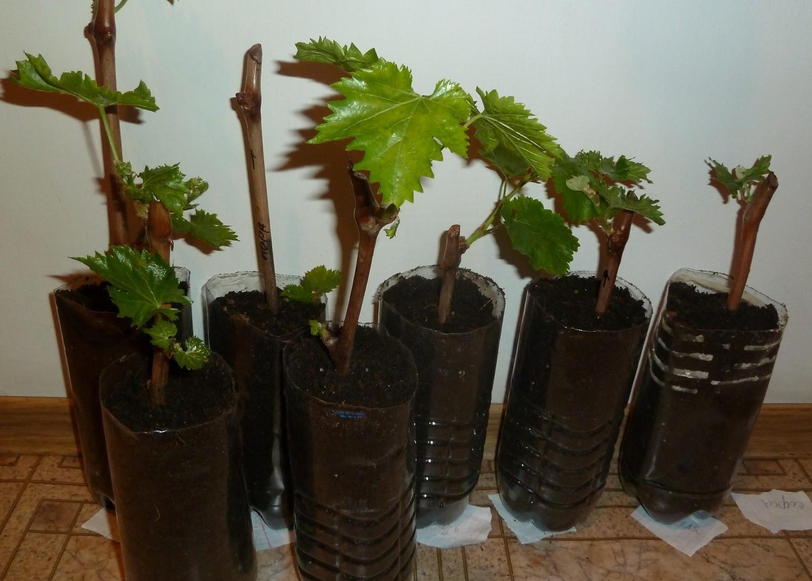 Как посадить виноград из черенков в домашних условиях 412