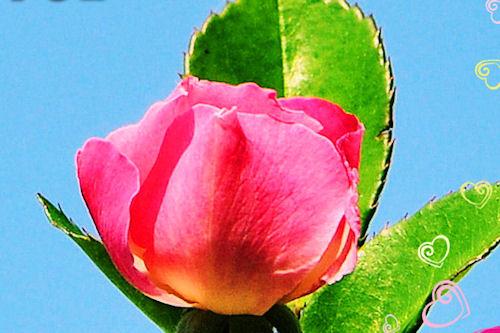 Capullo de rosa con mensaje de amor - Love Message