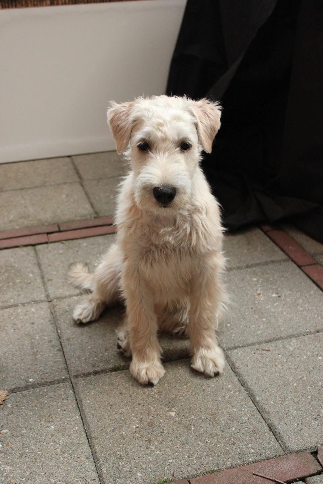 Wheaten Terrier Haircuts Type Dohoaso