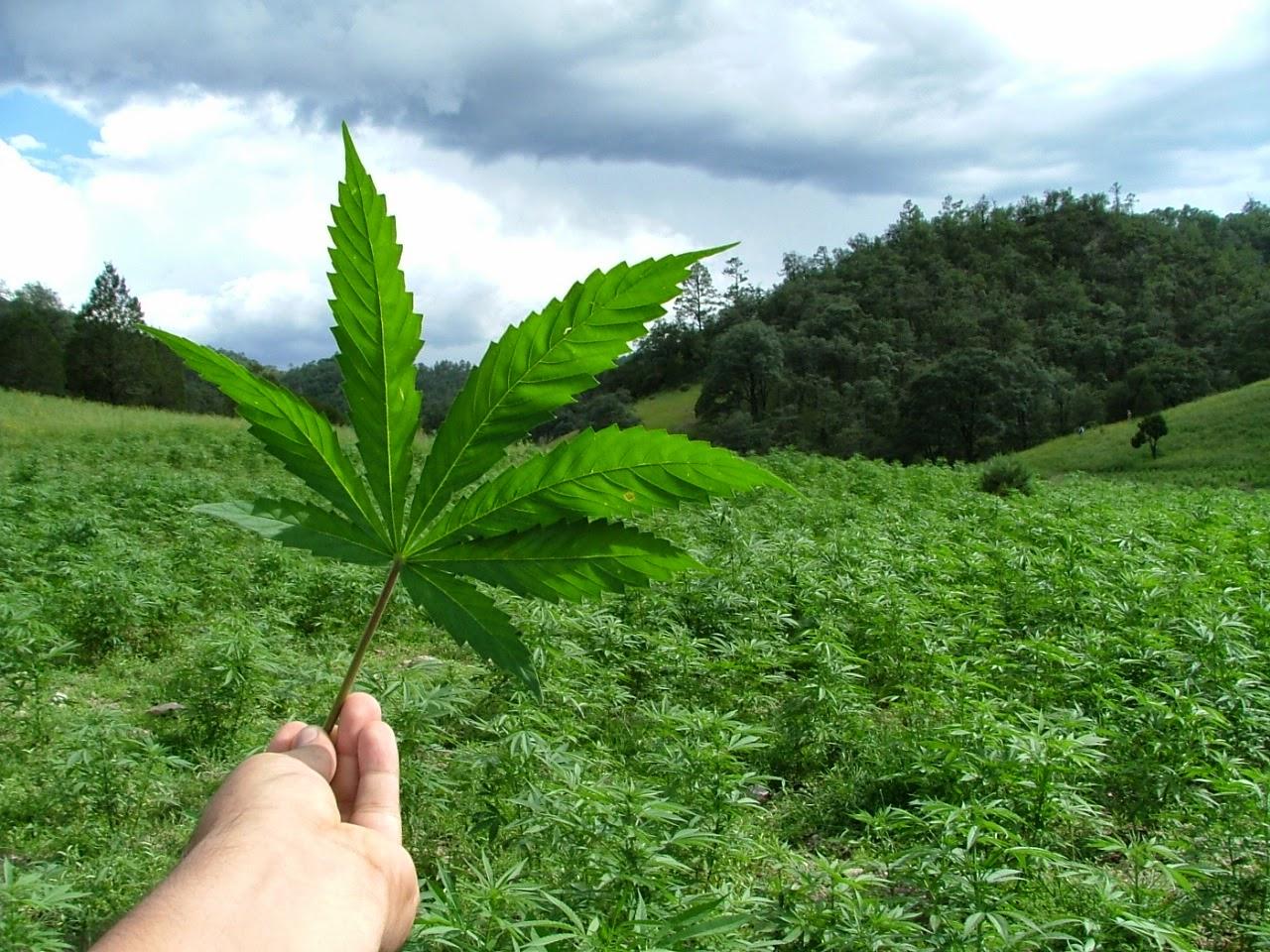 mi odio hacia la marihuana